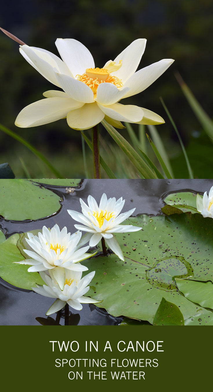 Two in a Canoe - Spotting the Flowers on the Water -- American lotus and fragrant water lily