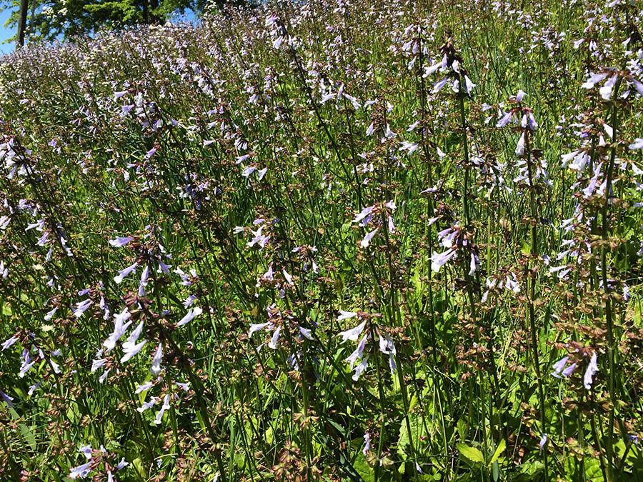 Lyreleaf sage plants