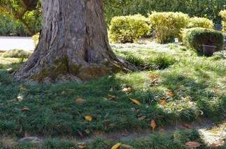 Mondo grass around base of tree