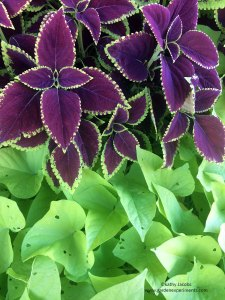Maroon coleus leaves with lime green sweet potato vine