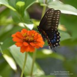 Female black swallowtail butterfly feeding on zinnia