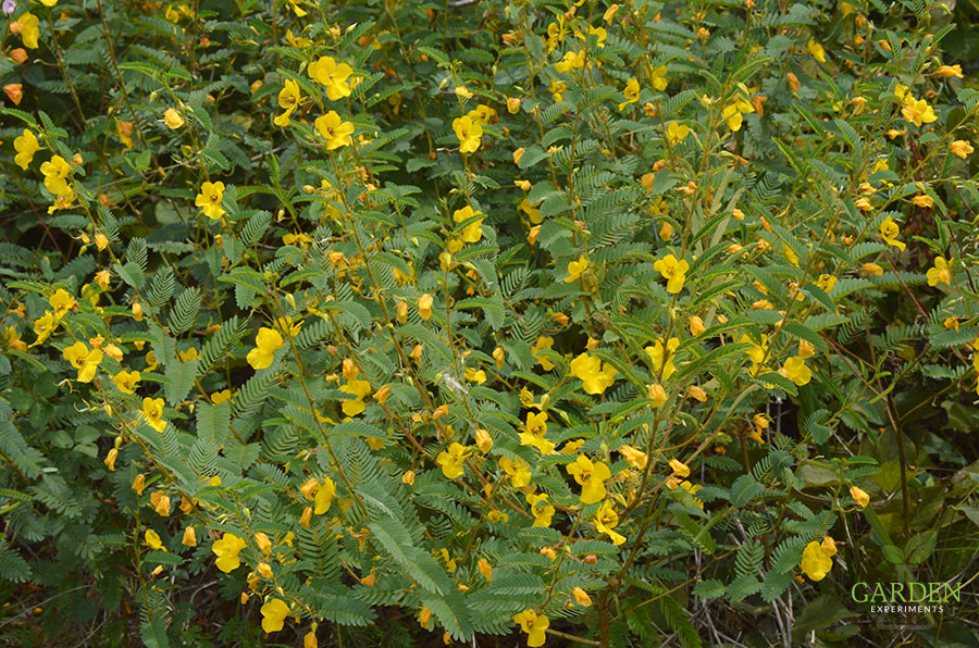 Partridge Pea plants