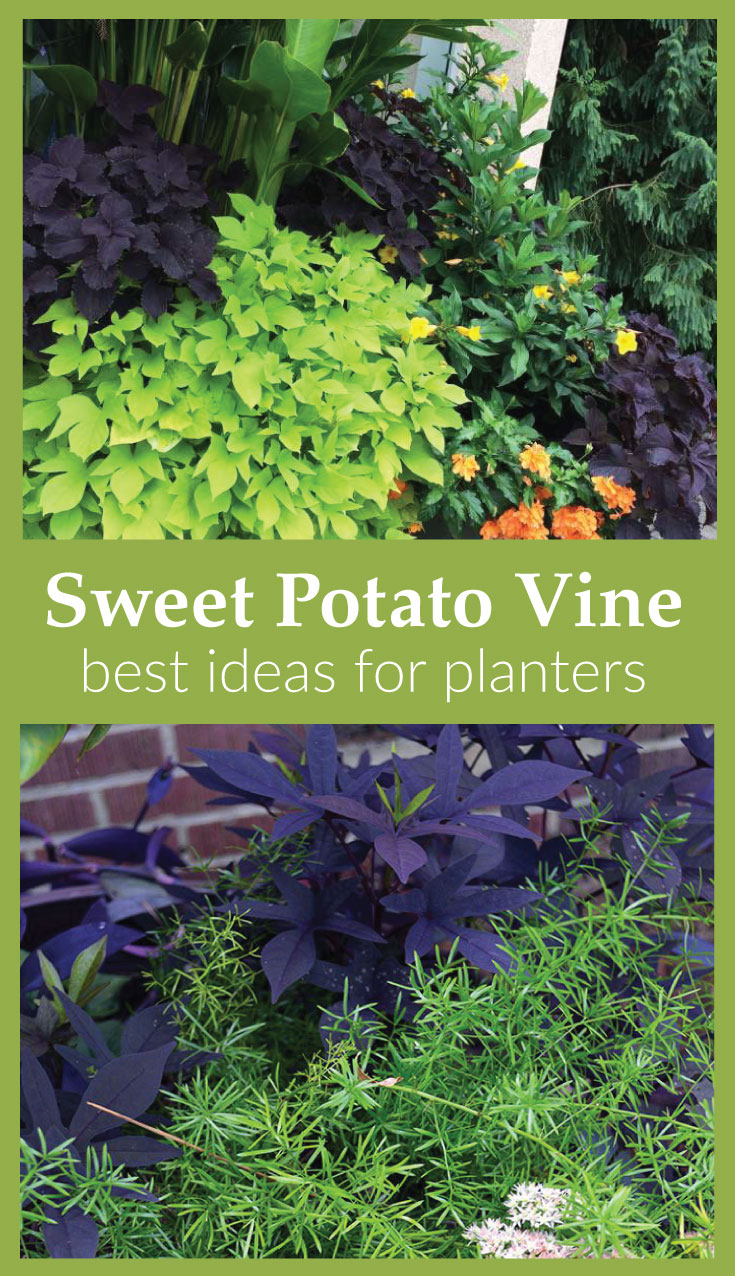 Best ideas for plants to pair with sweet potato vine in containers