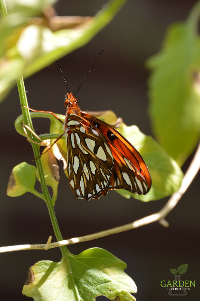 Gulf fritillary butterflies emerging from their chrysalises near their host plant purple passionflower