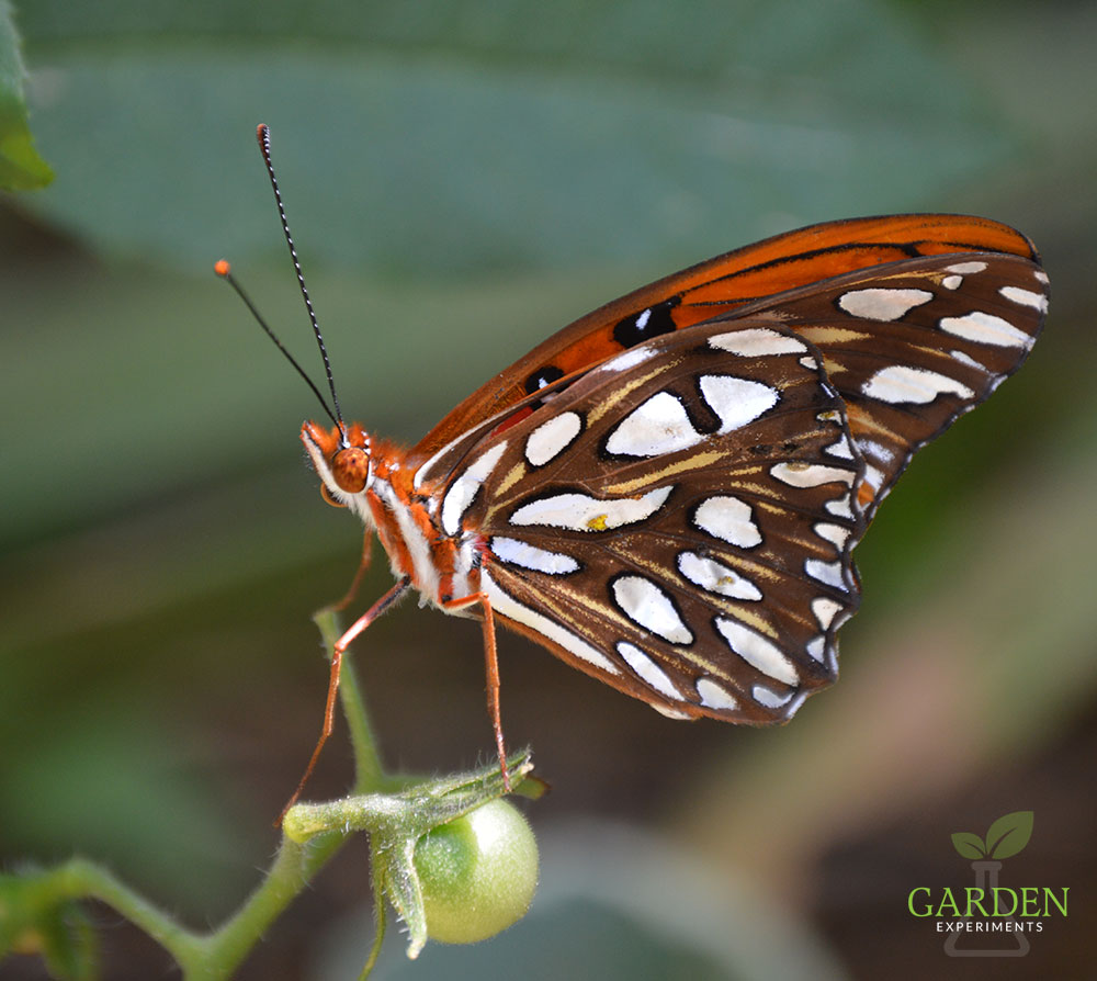 Recently emerged Gulf Fritillary butterfly