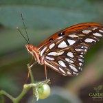 Recently emerged Gulf Fritillary butterfly