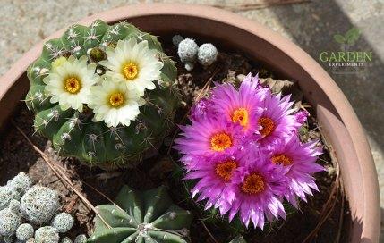 Blooming Notocactus