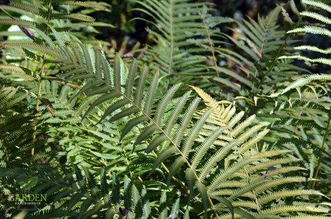 Autumn fern