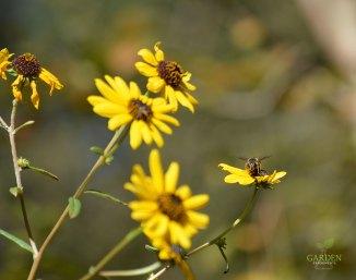Narroleaf sunflower