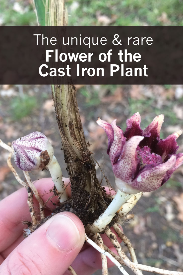 The Unique (and Rare) Flowers of the Cast Iron Plant (Aspidistra elatior)