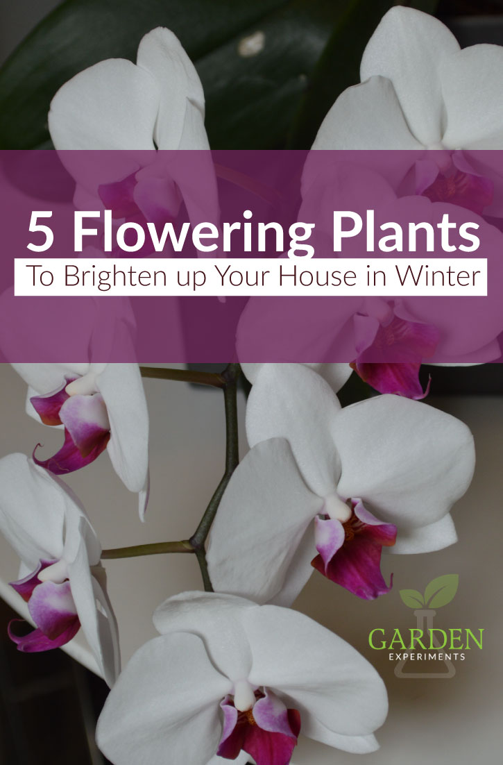 Brighten up Winter with These Five Indoor Flowering Plants -- There's nothing like a bright, colorful flower to help cheer up a winter day. Of the many house plants I have tried over the years, here are my 5 favorites. I selected them because they are relatively easy to take care of and still produce beautiful flowers even in winter.