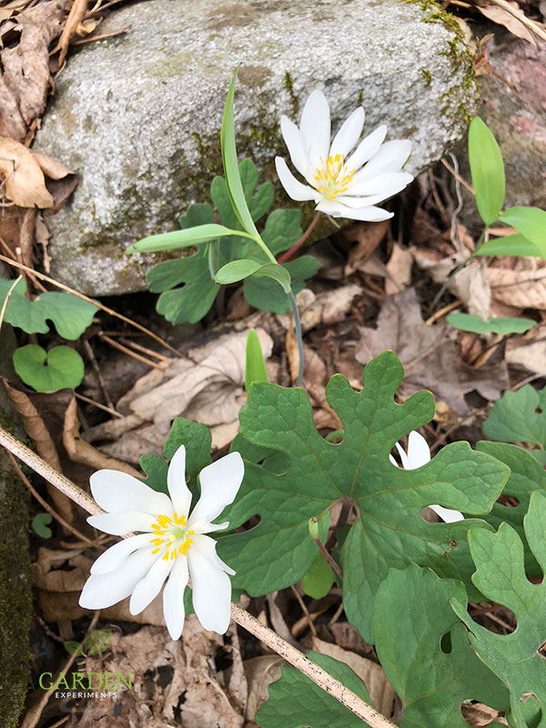 Bloodroot native plant