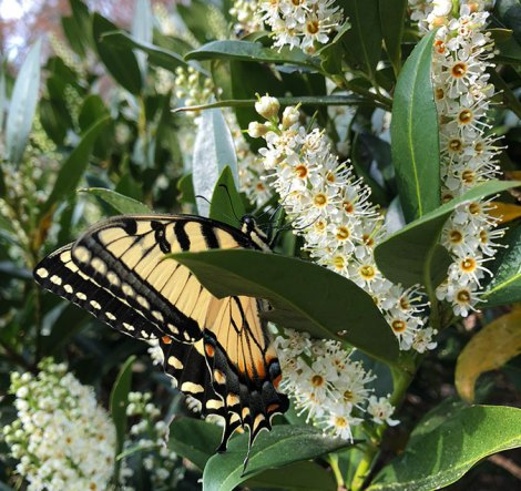 Eastern tiger swallowtail butterfly on cherry laurel shrub (Prunus laurocerasus)