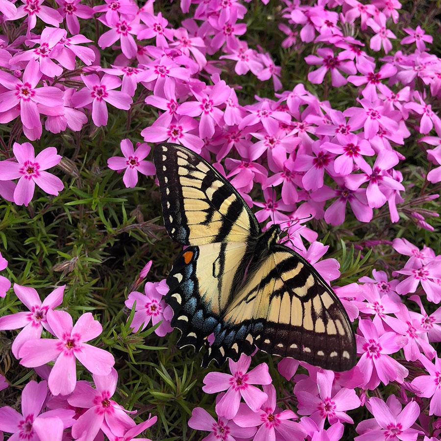Plants that flower in early spring for eastern tiger swallowtail eastern tiger swallowtail on creeping phlox mightylinksfo