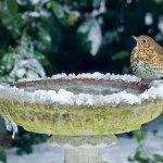 Frozen bird bath with bird sitting on the edge