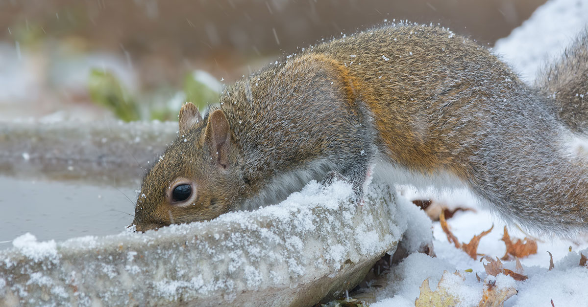 Squirrel drinking from a frozen bird bath