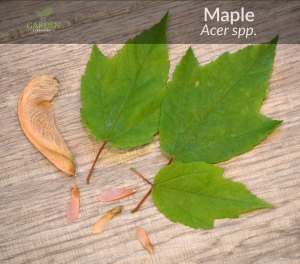 Maple tree leaves and samaras