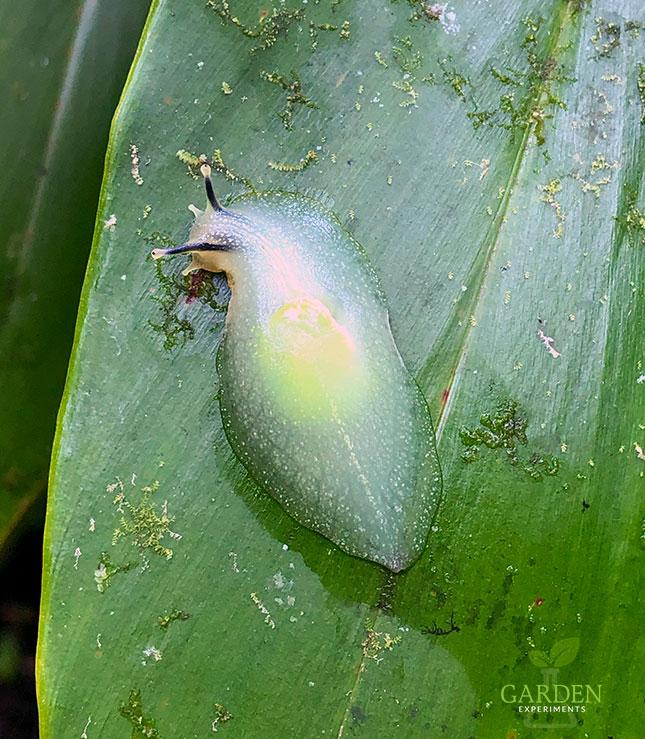 Puerto Rican Semi-Slug on a leaf