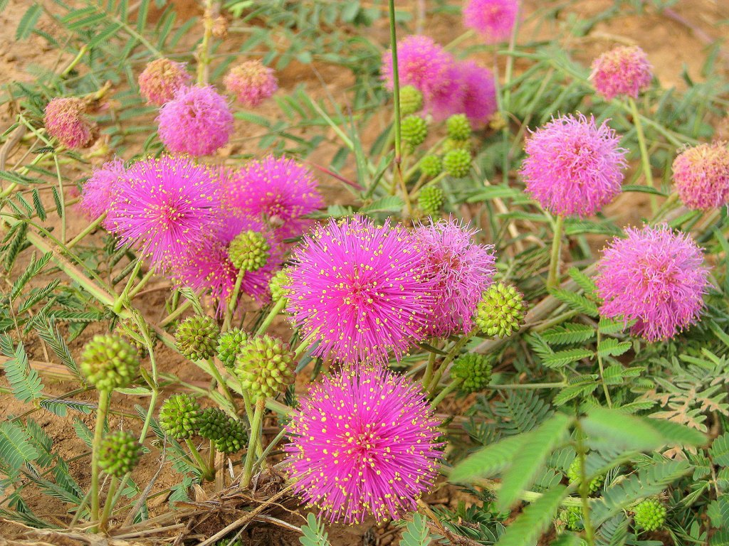 sensitive briar, a low growing trailing plant with bright small pink pompom type flowers