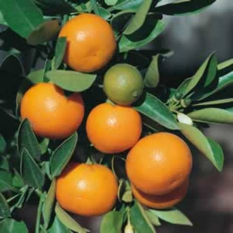 Image result for cumquat