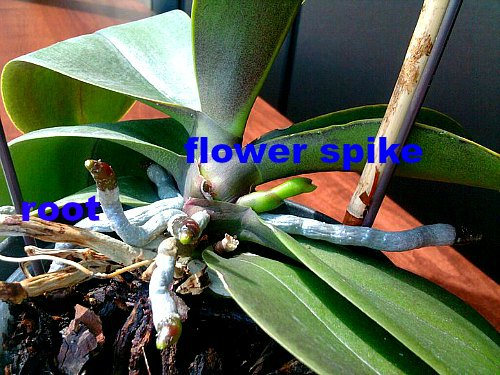 Orchid roots and flower spike