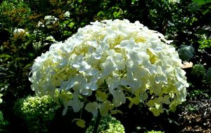 Hydrangea arborescens showing dome shaped flower head, by Robert Pavlis, Hydrangea Identification