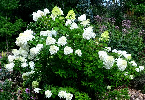 Hydrangea paniculata 'limelight', If you select the right hydrangea it will flower reliably, by Robert Pavlis