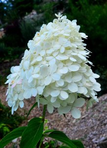 Hydrangea paniculata with cone shaped flower head, by Robert Pavlis, Hydrangea Identification