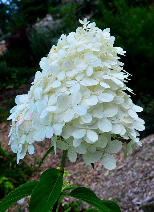 hydrangea paniculata with cone shaped flower head by robert pavlis