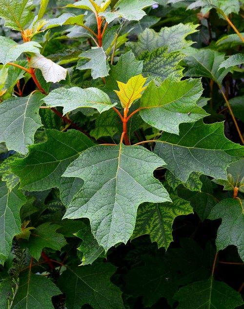 Hydrangea quercifolia, the oakleaf hydrangea, by Robert Pavlis, Hydrangea Identification