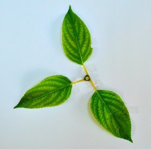 Node with 3 leaves, looking down the stem, Hydrangea paniculata, by Robert Pavlis, Hydrangea Identification