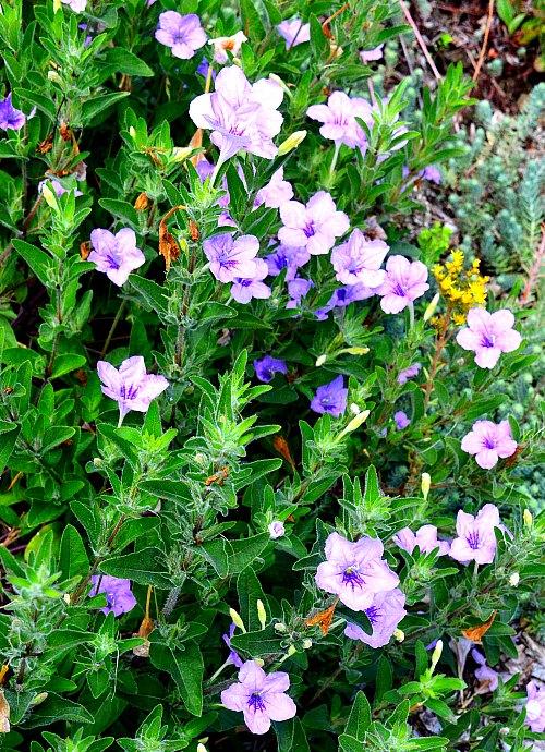 Ruellia humilis, wild petunia by Robert Pavlis
