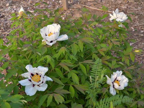 Paeonia rockii, from seed by Robert Pavlis