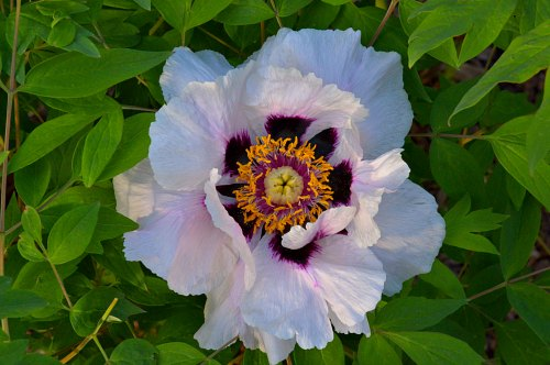Paeonia rockii, white form:photo by Robert Pavlis