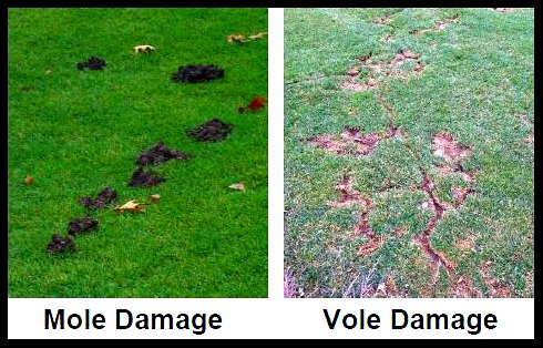 Mole and vole lawn damage, by Tuff Turf Mole Busters