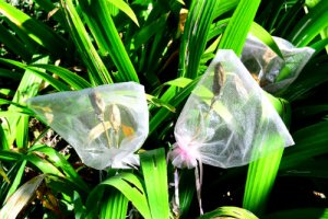 collecting seed Iris cristata seed heads covered in organza bags so the seeds are not lost as they mature, by Robert Pavlis