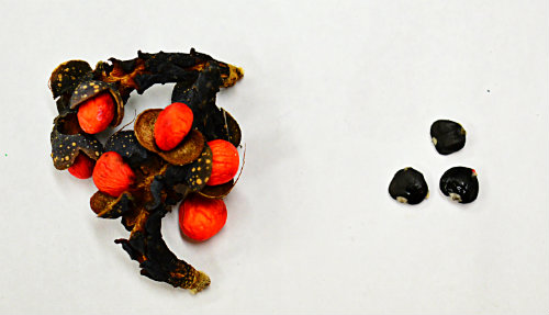 collecting seeds - Magnolia fruit cluster on the left showing what looks like orange/red seeds. Once the fruit is removed from the seed they are black (three on the right side), by Robert Pavlis