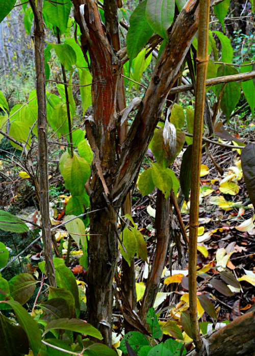 Heptacodium miconioides, bark, by Robert Pavlis