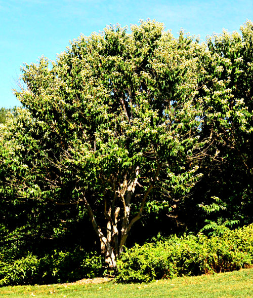 Heptacodium miconioides, mature tree, by Robert Pavlis