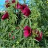 gongura seeds