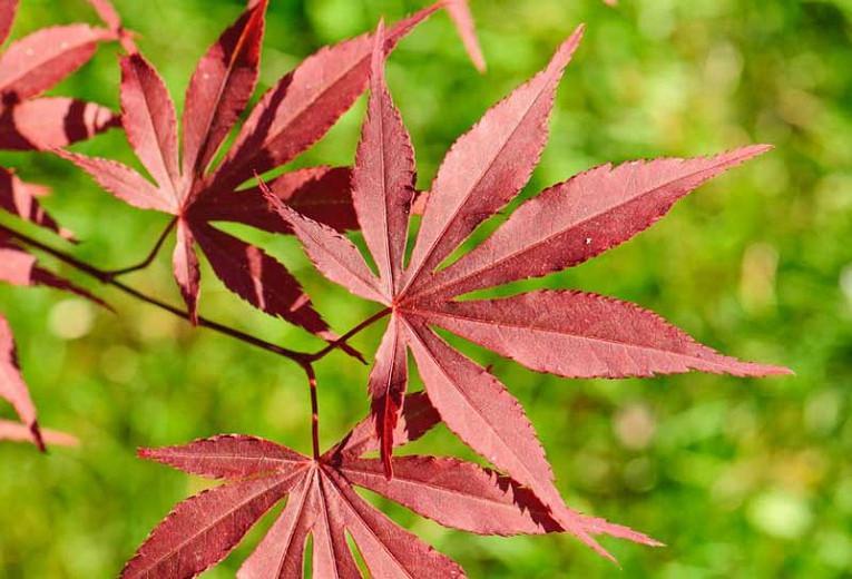 Acer Palmatum Atropurpureum Japanese Maple