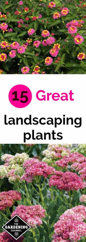 pink yellow lantana and pink sedum with text overlay 15 great landscaping plants