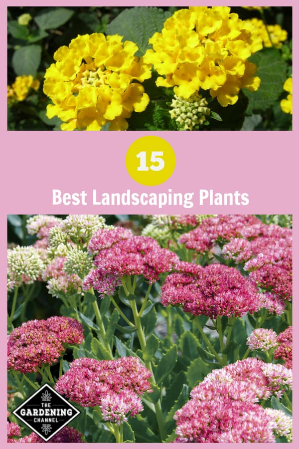 yellow lantana and pink sedum with text overlay fifteen best landscaping plants