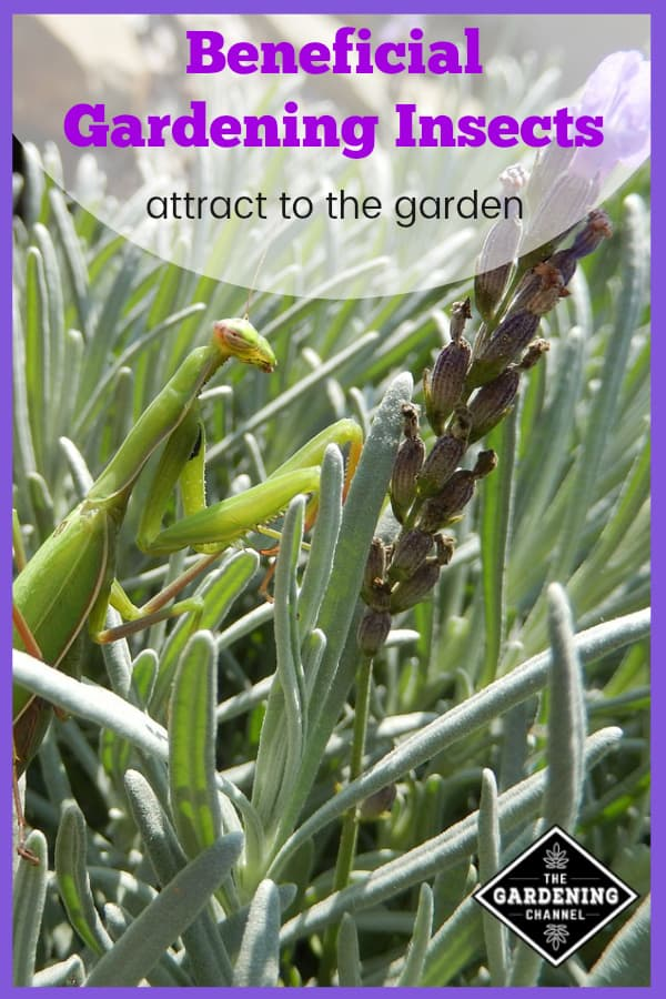 praying mantis on lavender with text overlay beneficial gardening insects attract to the garden