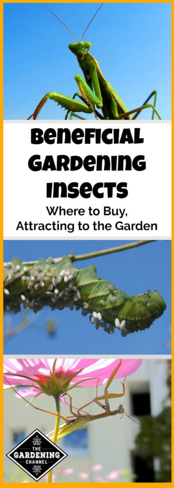 attracting beneficial insects to the garden