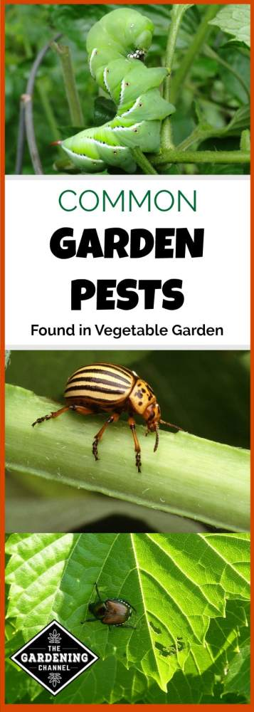 garden pests of tomato hornworm, potato bug, japanese beetle with text overlay common garden pests found in vegetable garden