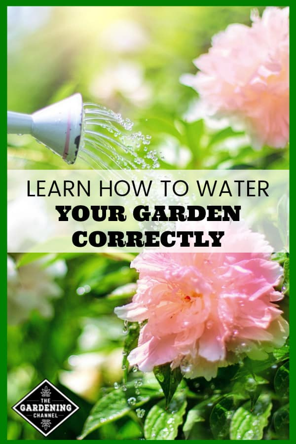 close up of watering can watering flowers with text overlay learn how to water your garden correctly