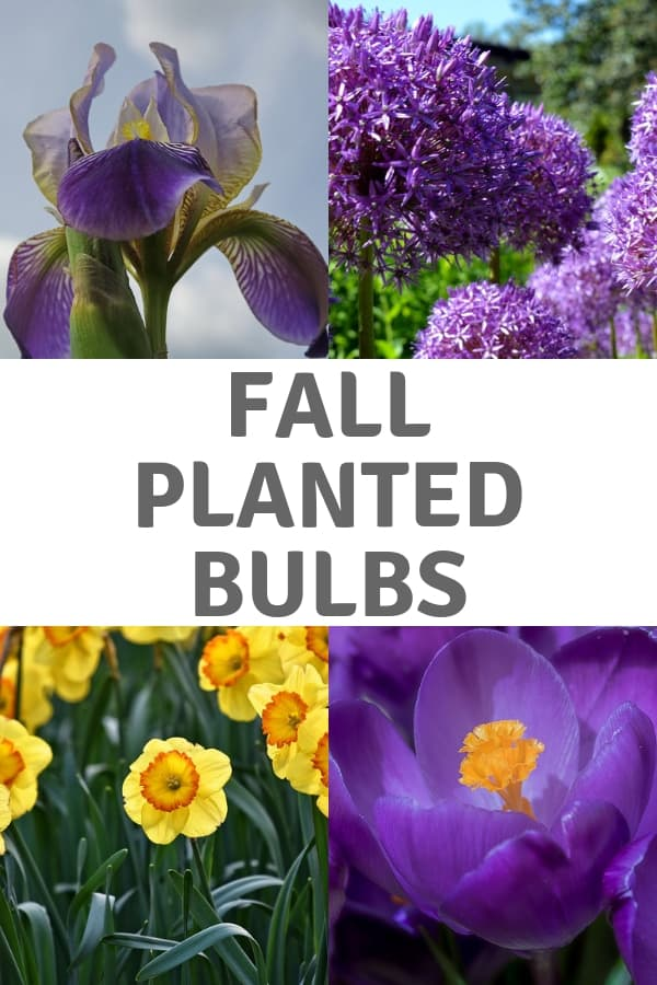 iris crocus daffodil allium with text overlay fall planted bulbs