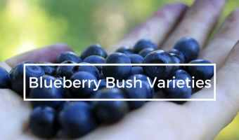 Blueberry Bush Varieties