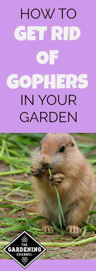 getting gophers out of your garden